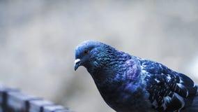 Tiro bonito do close up do pombo imagens de stock