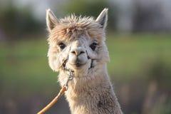Tiro branco de Portriat da cabeça da alpaca Foto de Stock Royalty Free