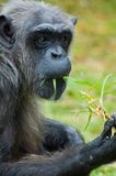 Tiro cândido do chimpanzé Fotografia de Stock Royalty Free