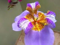 Tiro cercano de la orquídea púrpura al aire libre fotos de archivo