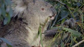 Tiro cercano de un oso de koala que cena en follaje almacen de video