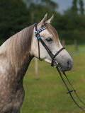 Tiro cinzento da cabeça de cavalo Foto de Stock Royalty Free