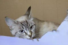 Tiro colhido de um gato de olhos azuis Fotos de Stock Royalty Free