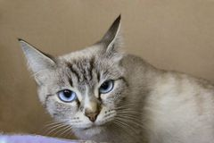 Tiro colhido de um gato de olhos azuis Fotos de Stock