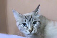 Tiro colhido de um gato de olhos azuis Imagem de Stock Royalty Free