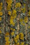 Tiro colhido de uma casca Lichen On Gay Tree Bark amarelo fotos de stock