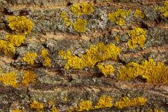 Tiro colhido de uma casca Lichen On Gay Tree Bark amarelo fotografia de stock