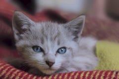 Tiro colhido do gatinho pequeno bonito com olhos azuis Imagens de Stock Royalty Free