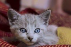 Tiro colhido do gatinho pequeno bonito com olhos azuis Fotos de Stock