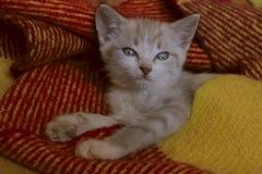 Tiro colhido do gatinho pequeno bonito com olhos azuis Fotografia de Stock