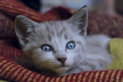 Tiro colhido do gatinho pequeno bonito com olhos azuis Fotos de Stock Royalty Free