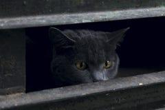 Tiro colhido do gato disperso amedrontado Fotografia de Stock