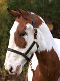 Tiro colorido da cabeça de cavalo Fotos de Stock Royalty Free