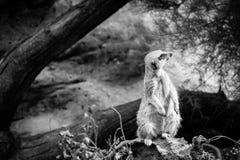Tiro completo do corpo de Meerkat Foto de Stock Royalty Free