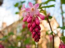 Tiro cor-de-rosa de suspensão bonito do macro das flores Fotos de Stock
