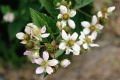 Tiro cosechado de la rama floreciente de la zarzamora imágenes de archivo libres de regalías