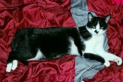 Tiro cosechado de un gato negro Primer del gato foto de archivo