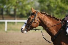 Tiro da cabeça da vista lateral de um cavalo bonito da ligação em ponte da mostra na ação Foto de Stock