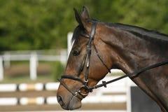 Tiro da cabeça da vista lateral de um cavalo bonito da ligação em ponte da mostra na ação Imagens de Stock Royalty Free