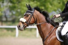 Tiro da cabeça da vista lateral de um cavalo bonito da ligação em ponte da mostra na ação Imagens de Stock