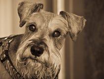 Tiro da cabeça de cão do schnauzer diminuto Imagem de Stock Royalty Free
