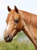 Tiro da cabeça de cavalo Fotografia de Stock