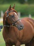 Tiro da cabeça de cavalo da castanha Fotografia de Stock Royalty Free