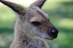 Tiro da cabeça de Kangeroo do australiano foto de stock