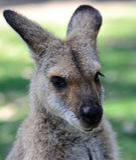 Tiro da cabeça de Kangeroo do australiano imagem de stock