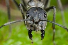 Tiro da face da formiga Fotografia de Stock