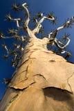 Tiro da perspectiva da árvore do quiver Imagens de Stock