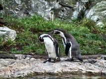 Tiro de dois pinguins imagem de stock