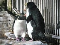 Tiro de dois pinguins imagens de stock