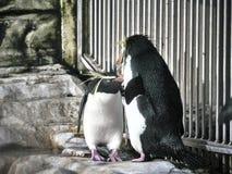 Tiro de dois pinguins fotos de stock royalty free