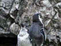Tiro de dois pinguins imagens de stock royalty free