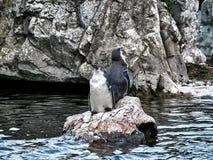 Tiro de dos pingüinos foto de archivo