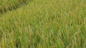 Tiro de filtrado lento de la hermosa vista de la granja del cereal del campo del arroz en Asia con el viento que sopla el grano r almacen de metraje de vídeo