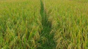Tiro de filtrado lento de la hermosa vista de la granja del cereal del campo del arroz en Asia con el viento que sopla el grano r almacen de video