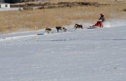 Tiro de la acción de un musher y de un equipo femeninos Imagen de archivo