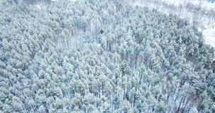 tiro de la antena 4K Vuelo sobre el paisaje del norte del invierno del bosque nevoso congelado de la picea Visión superior Fondo  almacen de video