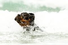 Tiro de la cabeza de perro de Rottweiler Foto de archivo