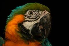 Tiro de la cabeza del loro del Macaw Imagenes de archivo