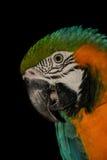 Tiro de la cabeza del loro del Macaw Foto de archivo