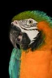 Tiro de la cabeza del loro del Macaw Imagen de archivo libre de regalías