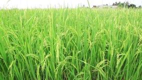 Tiro de la grúa del campo del arroz, de abajo a para arriba almacen de video