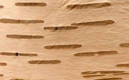 Tiro de la macro de la corteza de abedul Foto de archivo libre de regalías