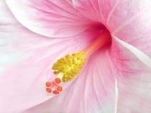 Tiro de la macro de la flor del hibisco Imágenes de archivo libres de regalías