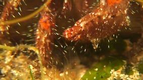 Tiro de la macro del cangrejo de ermitaño almacen de metraje de vídeo