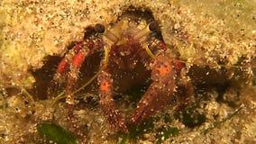 Tiro de la macro del cangrejo de ermitaño almacen de video