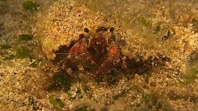 Tiro de la macro del cangrejo de ermitaño metrajes